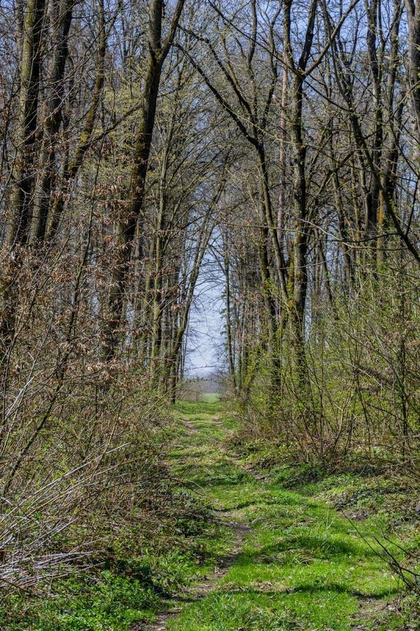 Bos het lopen en wandelingsweg met lange bomen bij de vroege lente stock afbeeldingen