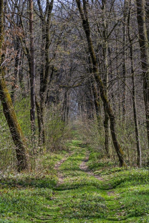 Bos het lopen en wandelingsweg met lange bomen bij de vroege lente stock foto