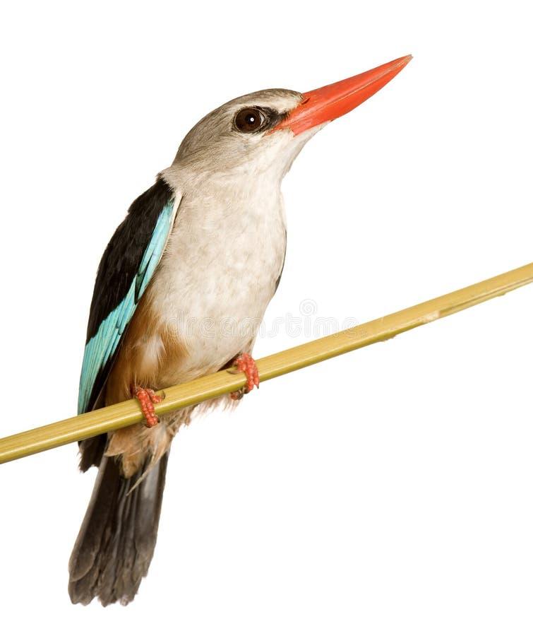 Bos Ijsvogel - senegalensis van de Ijsvogel royalty-vrije stock foto