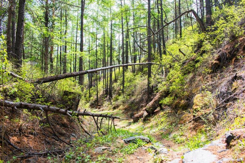 Bos met gevallen bomen en groene installaties weg door groen bos de wegpassen door een groen bos stock afbeeldingen