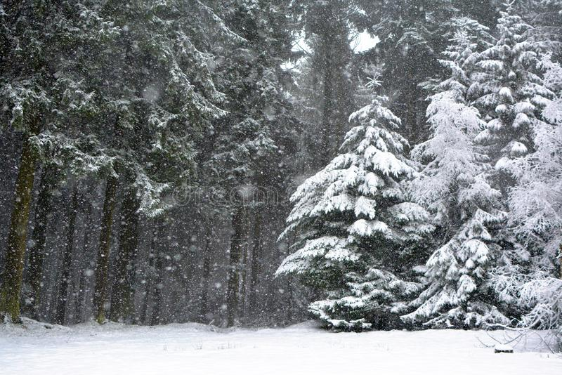 Bos met naaldboombomen tijdens zwaar sneeuwonweer in de winter royalty-vrije stock foto's