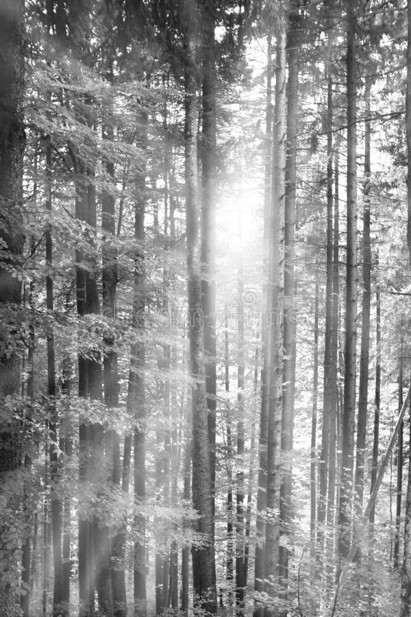 Bos met perfecte rechte bomen Zonnestralen die overgaan door royalty-vrije stock afbeeldingen