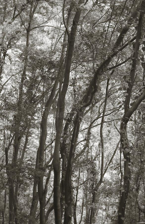 Bos in sepia toon La Palma spanje stock fotografie