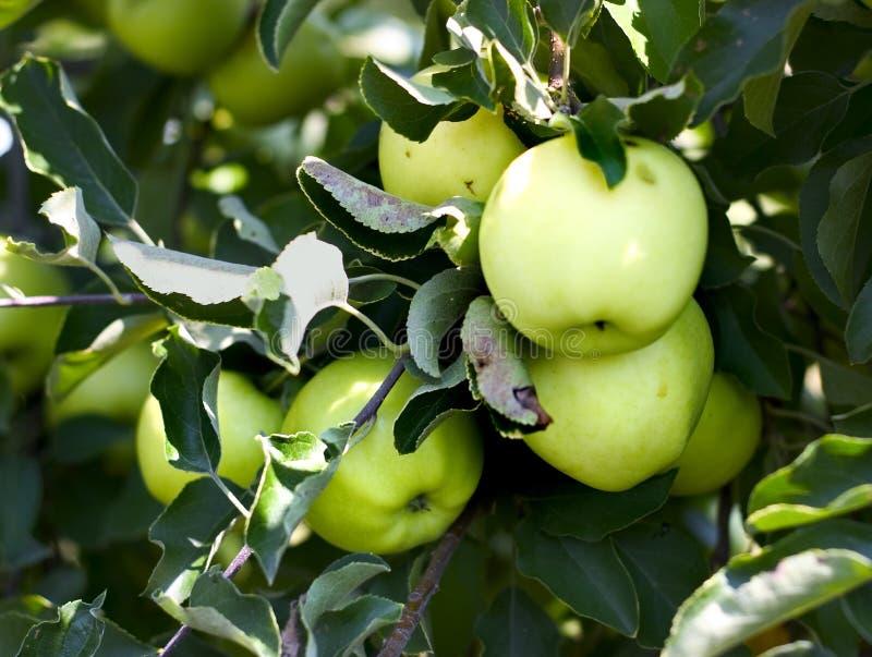Bos van appelen op een boom royalty-vrije stock foto's