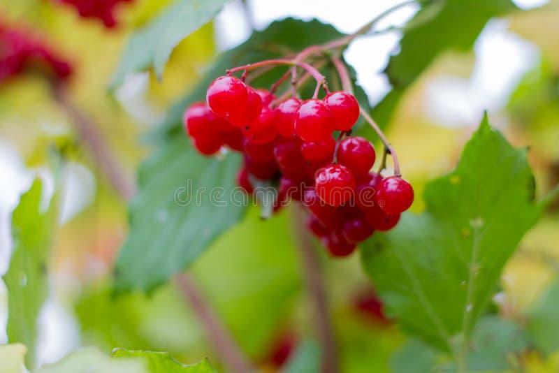 bos van bessen, rood rijp fruit van viburnum op de boom royalty-vrije stock fotografie
