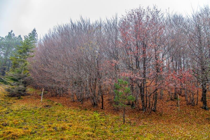 Bos van beuk en pijnboombomen in de bosherfst Italië van het de herfsthout stock afbeeldingen