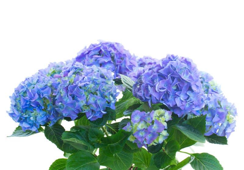 Bos van blauwe hortensiabloemen stock afbeelding