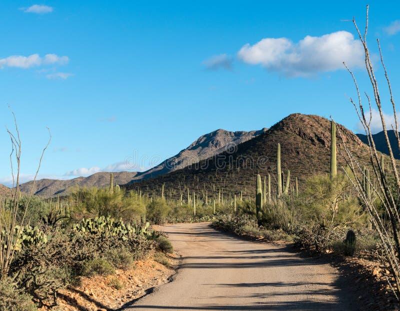 Bos van cactus in het Park van West- saguaro Nationaal Tucson royalty-vrije stock foto's
