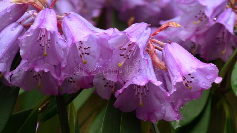 Bos van de bloemen van de Rododendron stock fotografie