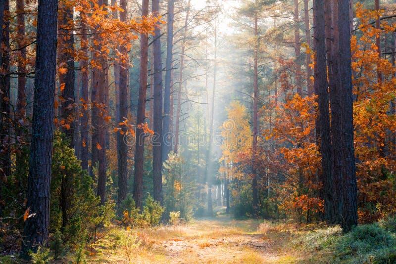 Bos van de dalings het bosherfst met zonlicht stock foto's