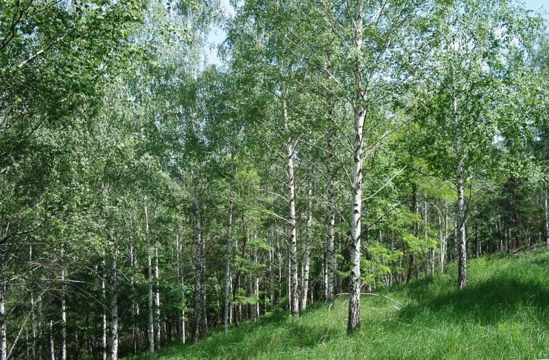 Bos van de de lente kan het groene berk stock afbeelding