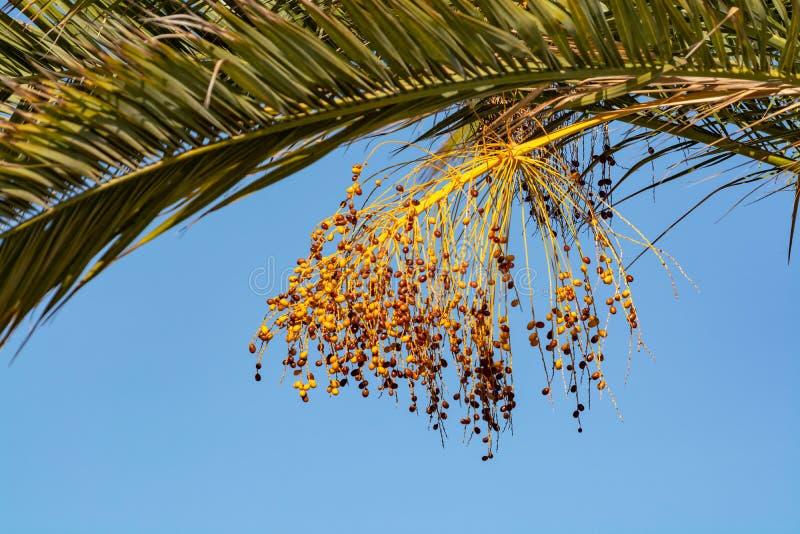 Bos van de vruchten die van barhidata op palm dicht groeien royalty-vrije stock afbeeldingen