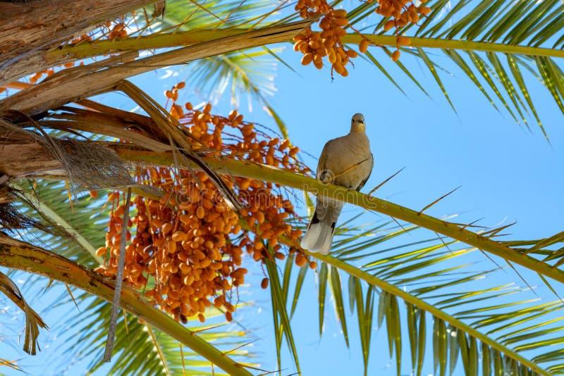 Bos van de vruchten die van barhidata op palm en de grijze Canarische endemische vogel van de laurierduif dicht groeien royalty-vrije stock afbeelding