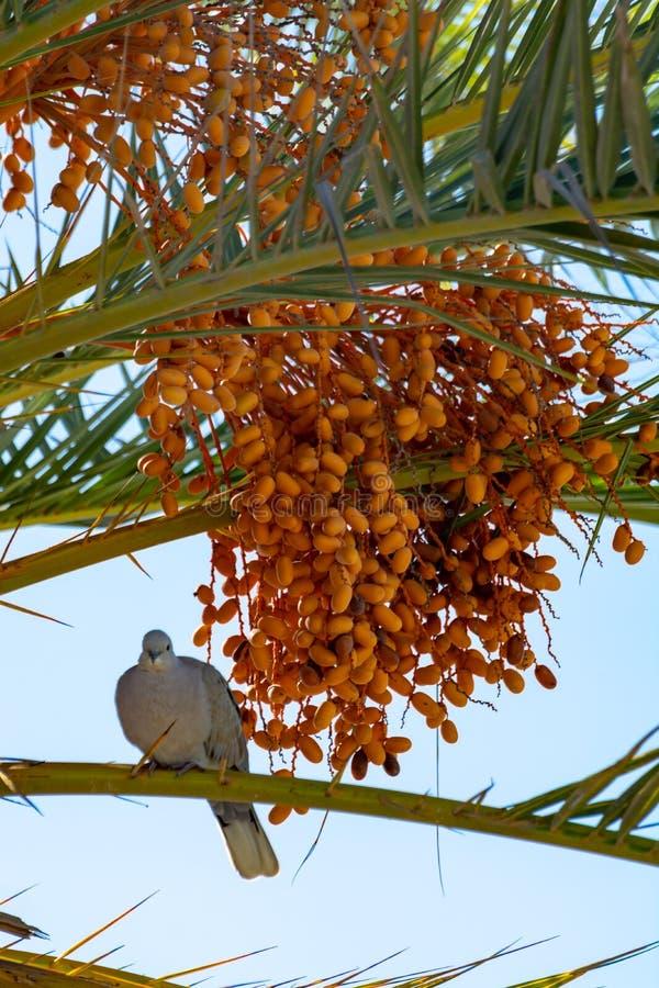 Bos van de vruchten die van barhidata op palm en de grijze Canarische endemische vogel van de laurierduif dicht groeien stock foto