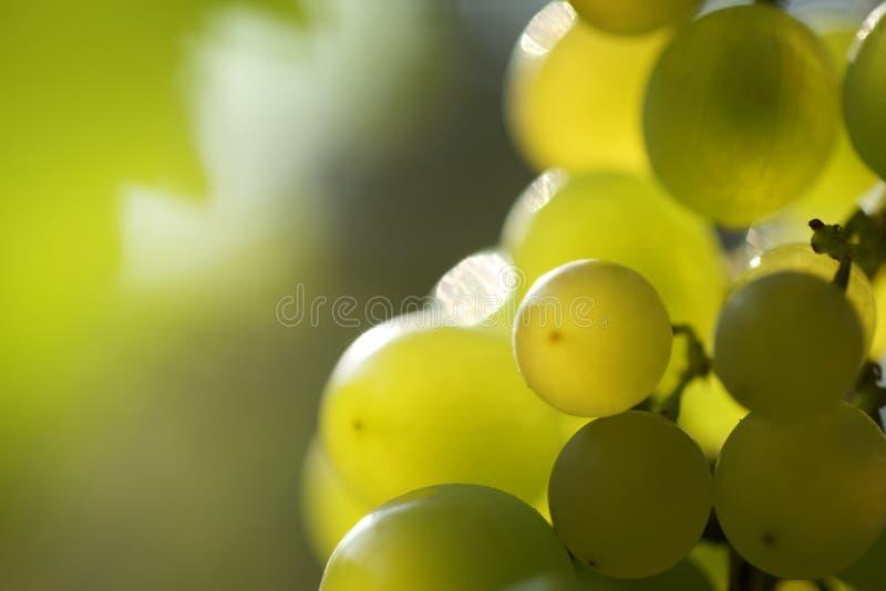 Bos van druiven stock foto