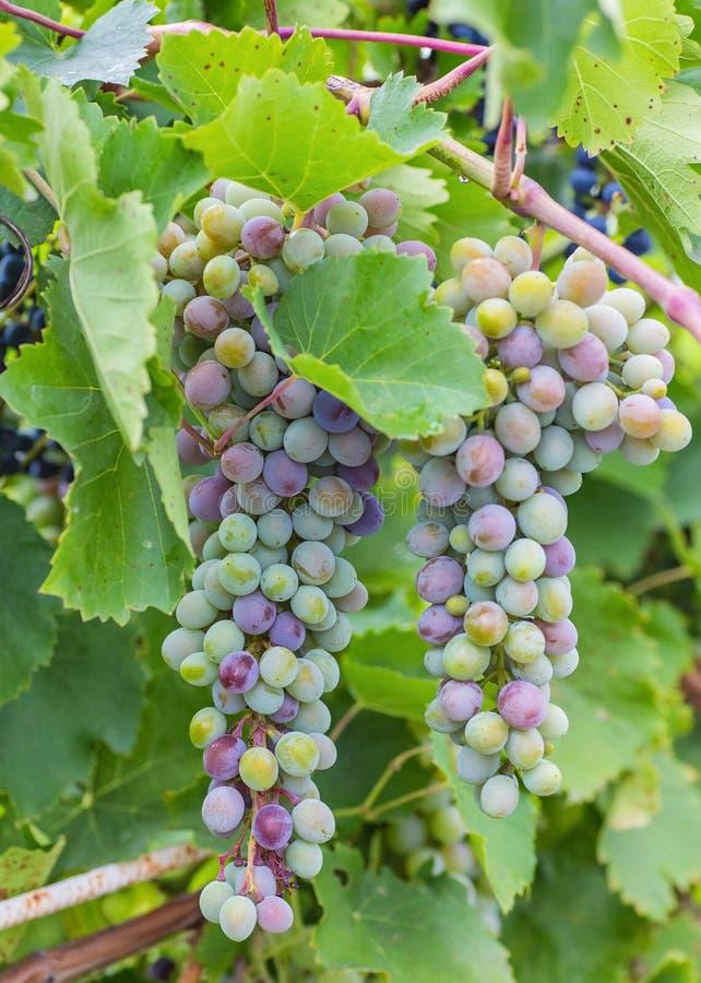 Bos van druiven met groene wijnstokbladeren in mand stock afbeelding