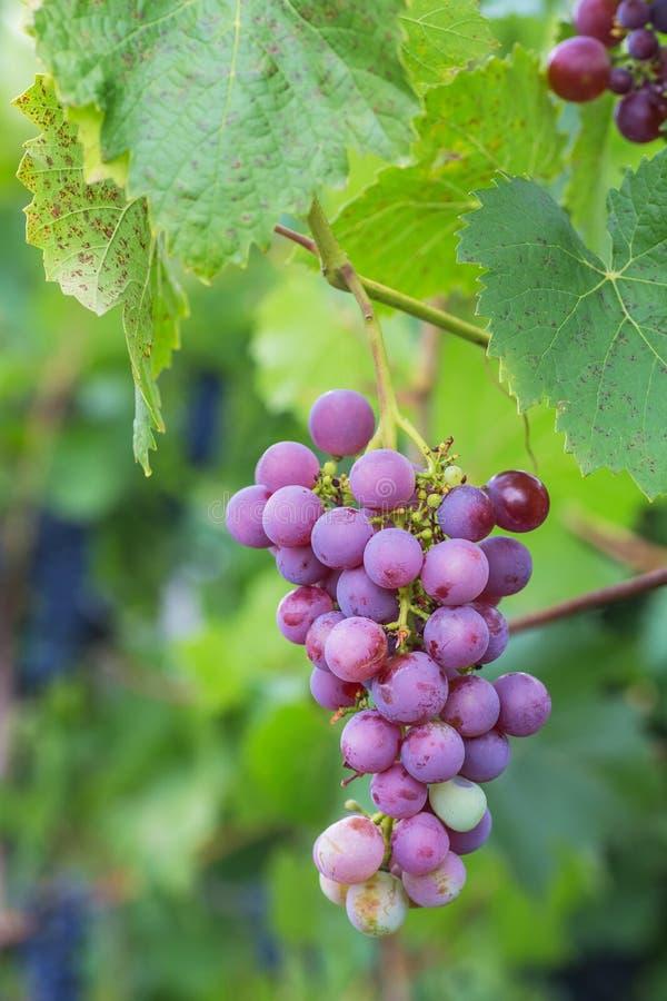 Bos van druiven met groene wijnstokbladeren in mand stock foto's