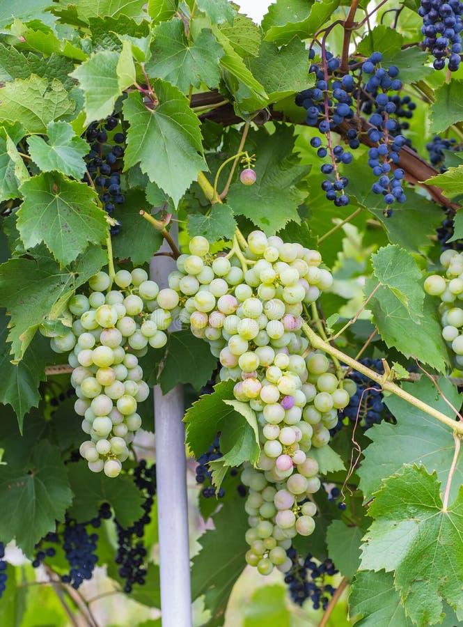 Bos van druiven met groene wijnstokbladeren in mand royalty-vrije stock foto's