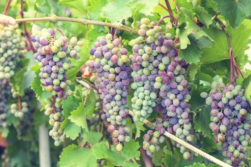 Bos van druiven met groene wijnstokbladeren in mand royalty-vrije stock afbeelding