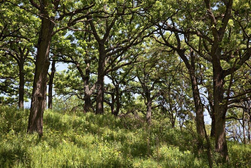 Bos van eiken bomen in de Lente stock afbeelding