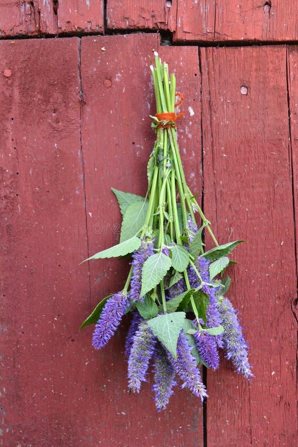 Bos van foeniculumkruiden van anijsplant hyssop Agastache royalty-vrije stock afbeeldingen