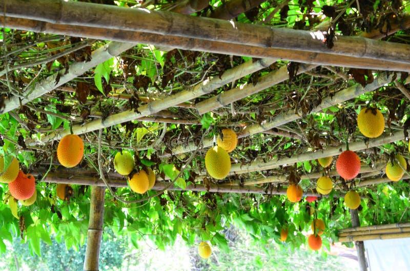 Bos van Gac-fruit het hangen op de boom royalty-vrije stock afbeeldingen