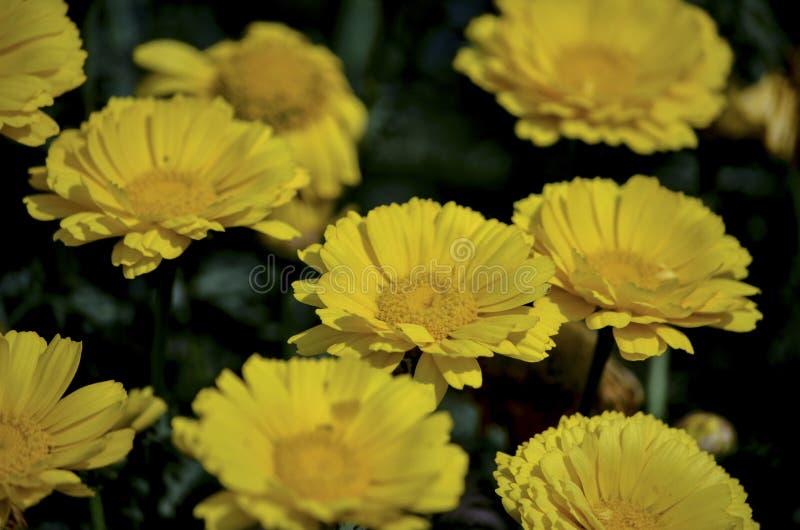 Bos van Gele bloem met geel stuifmeelcentrum die in een tuin in een zonnige dag bloeien stock foto