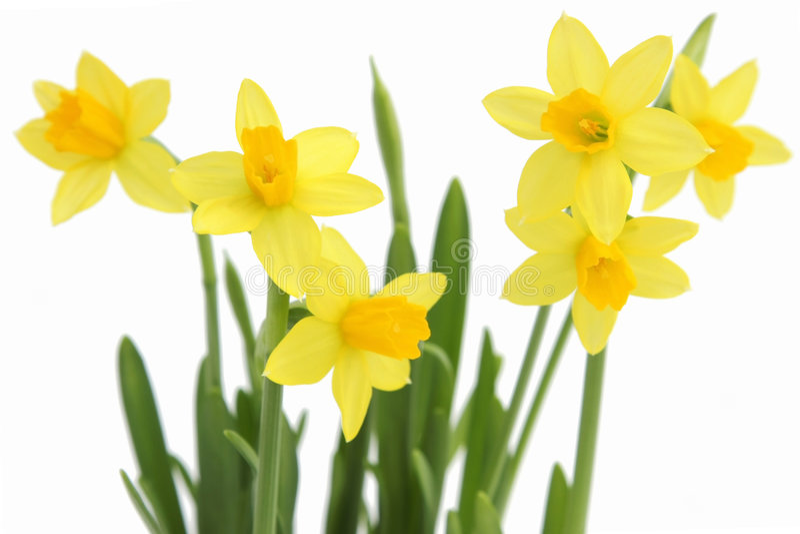 Bos van gele de lentegele narcissen royalty-vrije stock afbeeldingen