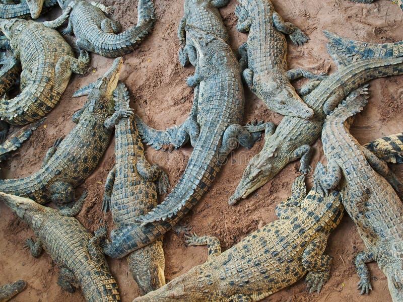 Bos van gevaarlijke krokodillen stock afbeeldingen