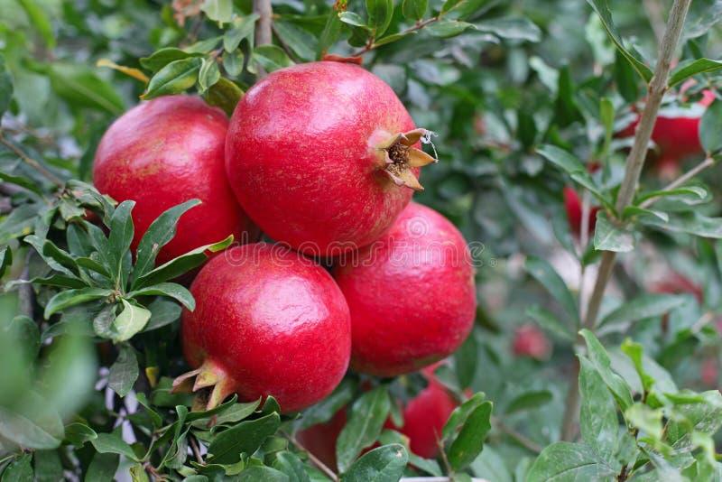 Bos van granaatappelfruit op boom stock foto