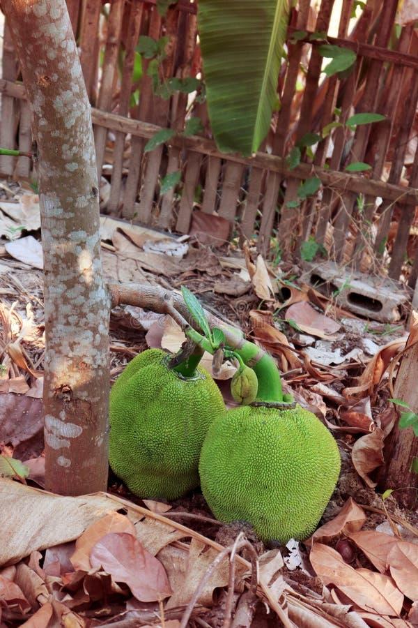 Bos van groen hefboomfruit met boom op grond stock foto