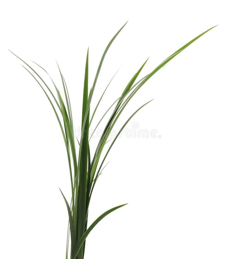 Bos van groen riet stock foto's