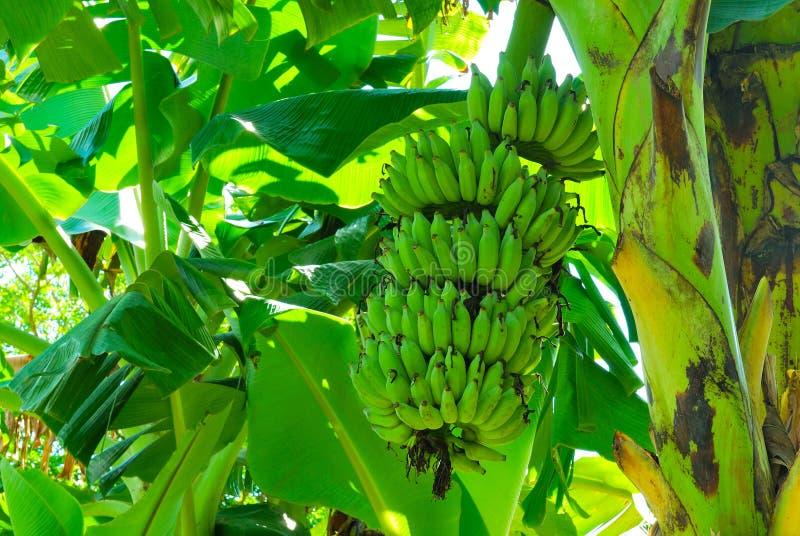 Bos van Groene Banaan royalty-vrije stock foto's