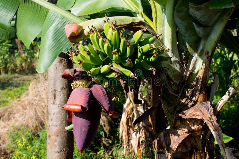 Bos van groene bananen en grote banaanbloem stock afbeelding