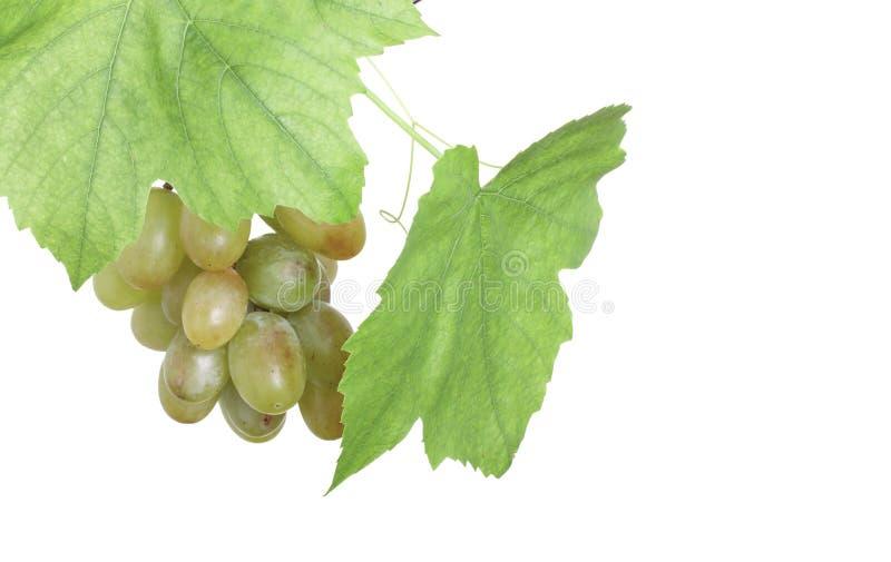 Bos van groene druiven in geïsoleerdee wijnstok stock afbeelding