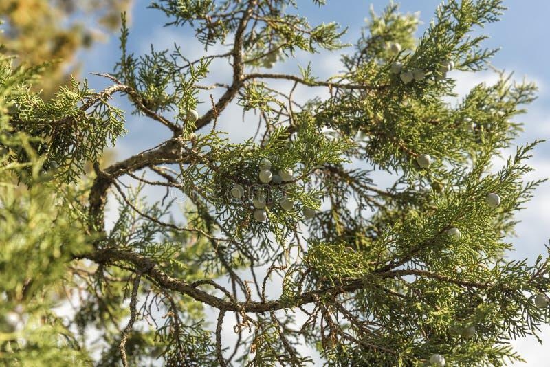 Bos van jeneverbessen op een groene tak in de herfst stock afbeelding