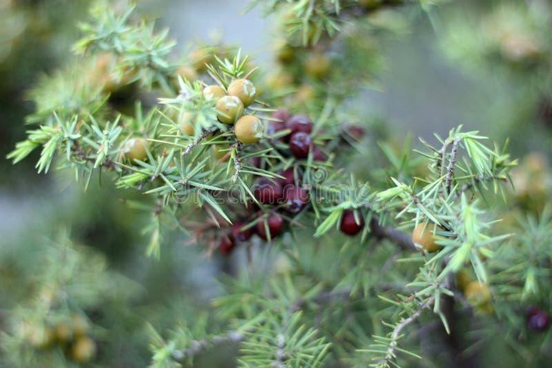 Bos van jeneverbessen op een groene takclose-up in lentetijd stock afbeelding