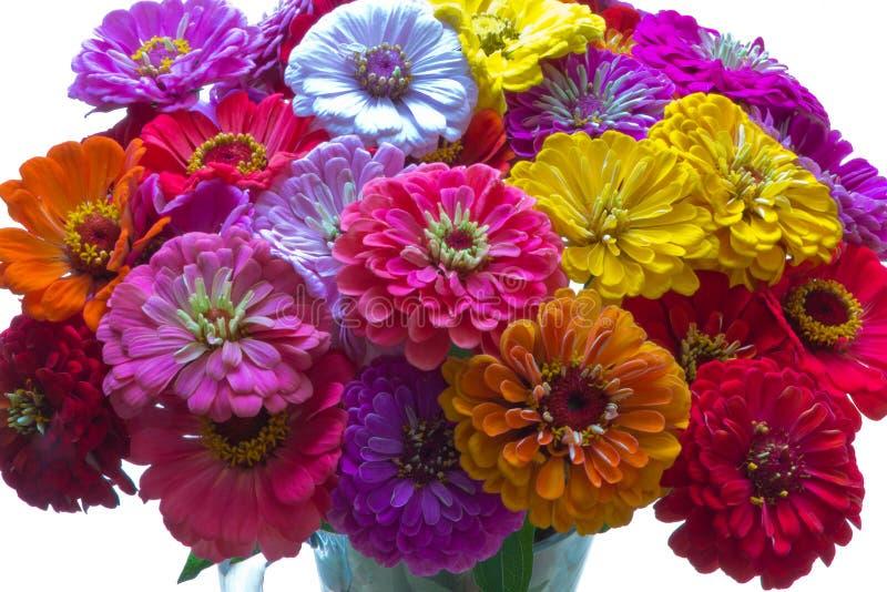 Bos van kleurrijke bloemen van Zinnia op witte achtergrond - sluit omhoog royalty-vrije stock afbeelding