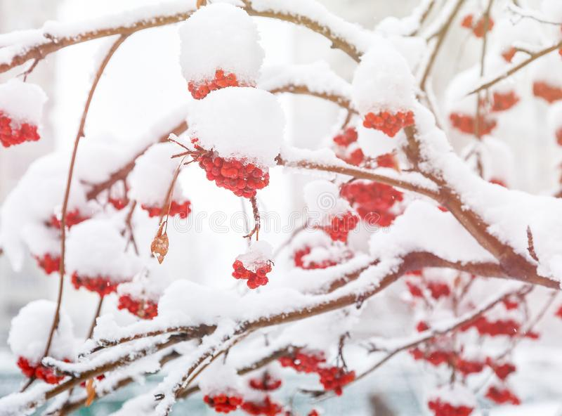 Bos van lijsterbessenbessen met de Winterachtergrond van ijskristallen De winterlandschap met snow-covered rode lijsterbes royalty-vrije stock afbeeldingen