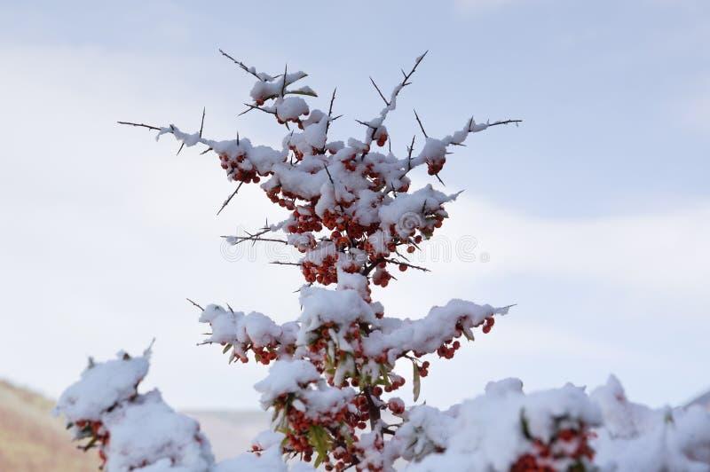 Bos van Lijsterbessenbessen op een tak onder de witte sneeuw stock afbeeldingen