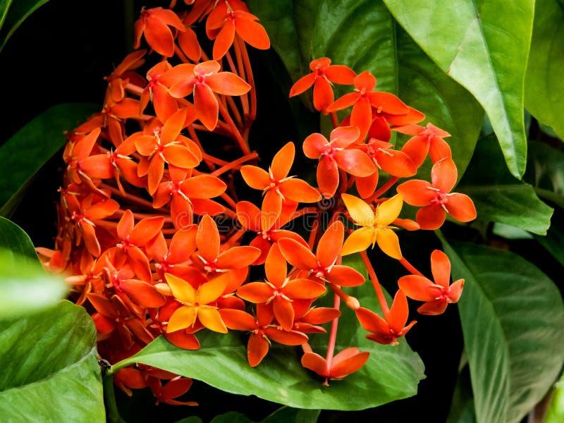 Bos van mooie Ixora bloem-India stock foto
