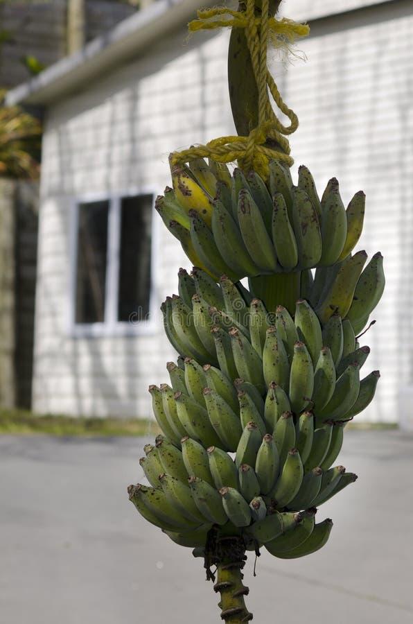 Bos van onrijpe bananen stock afbeelding