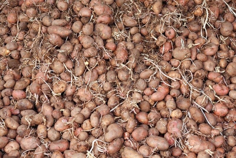 Bos van ontkiemde pootaardappelen met spruiten voor de lente die, droge onderluifel planten royalty-vrije stock foto's
