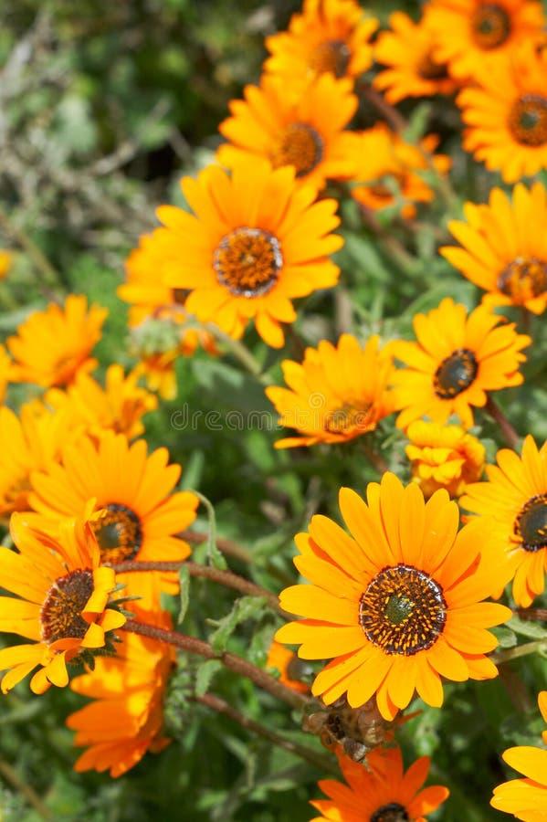 Bos van oranje wilde bloemen stock foto's