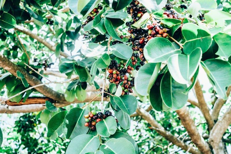 Bos van organische de pruimvruchten van Java, die ook als Duhat of Lomboy wordt de bekend, is de lokale druiven in de Filippijnen stock fotografie