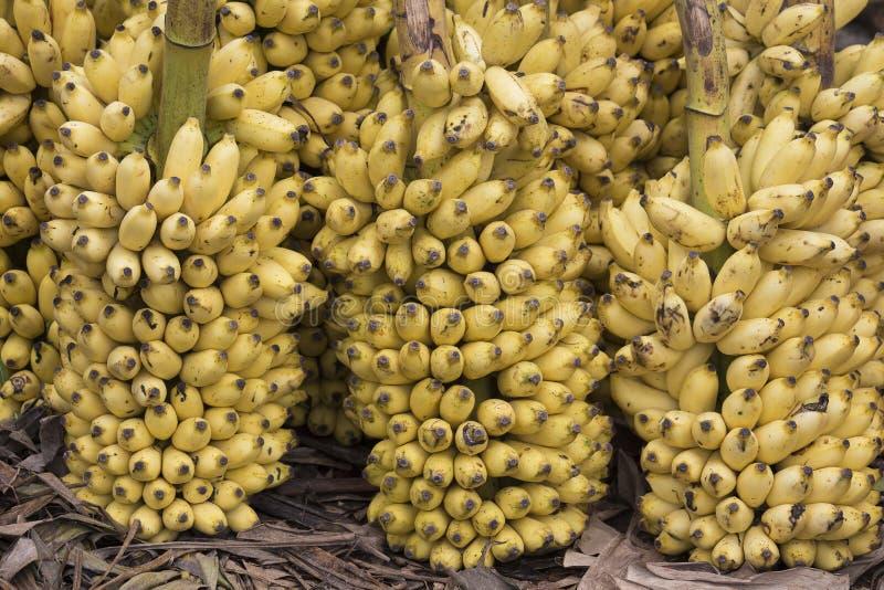 Bos van rijpe bananenachtergrond stock foto's