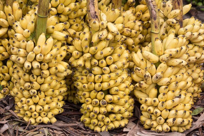 Bos van rijpe bananenachtergrond op de markt stock fotografie