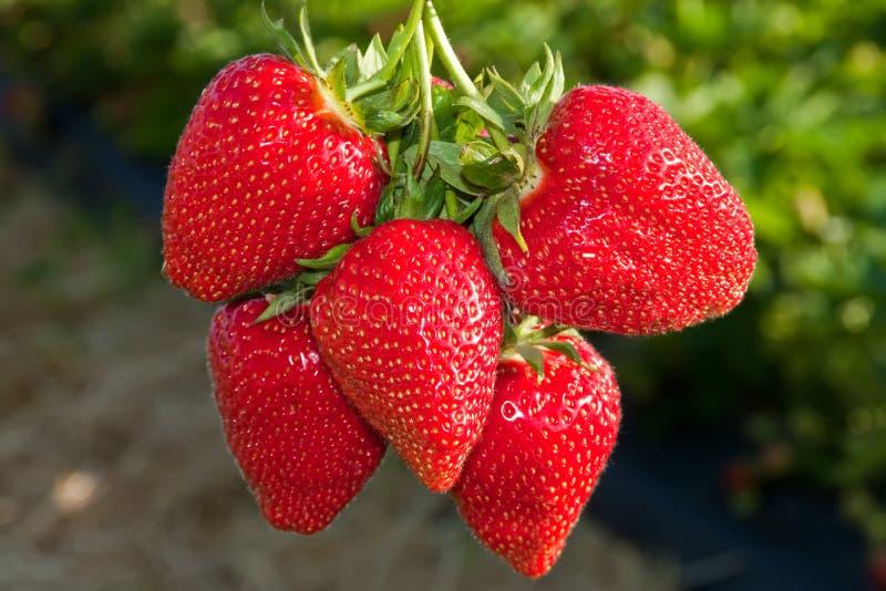 Bos van rode, rijpe aardbeien. royalty-vrije stock foto's