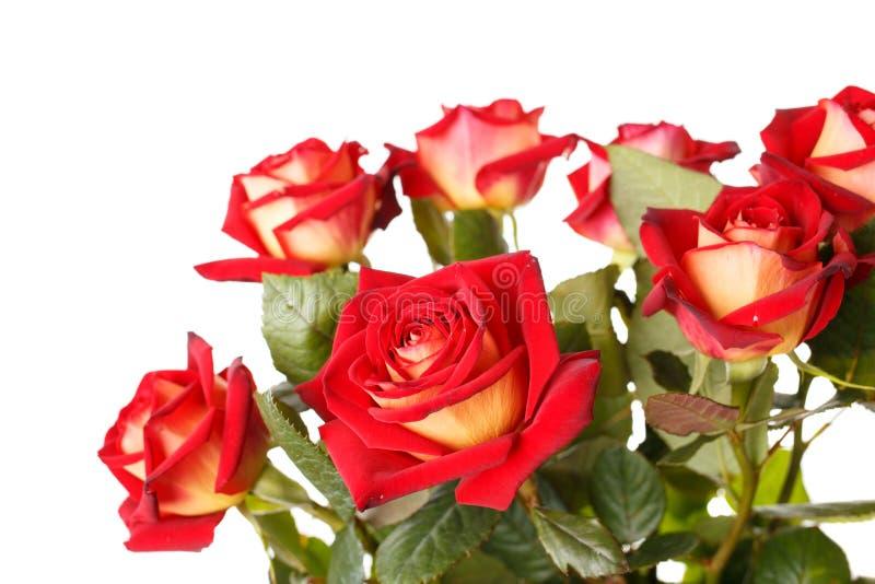 Bos van rode rozen op witte achtergrond stock afbeelding