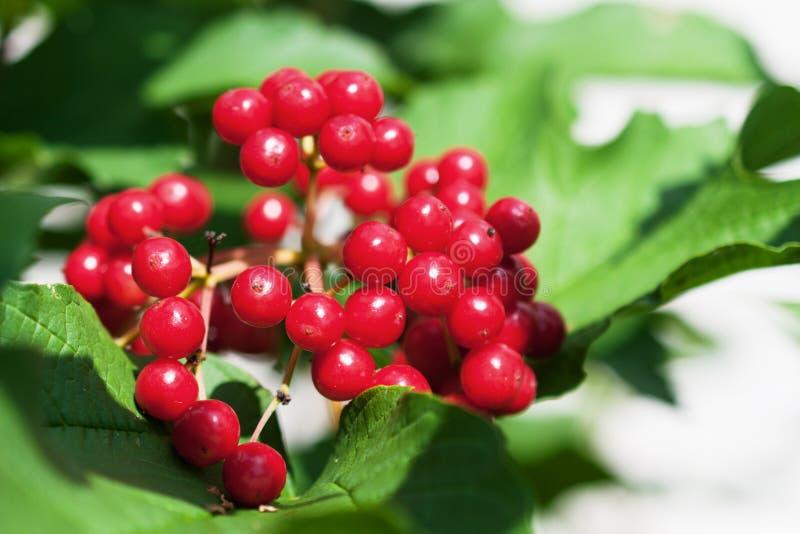 Download Bos van rode viburnum stock afbeelding. Afbeelding bestaande uit plantkunde - 29513183